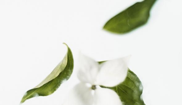 ¿Qué diferencia al té verde del té matcha? 1